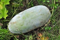 Winter melon. In the gardens Royalty Free Stock Photos