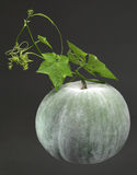 Winter Melon. Big green winter melon with leaf royalty free stock photos