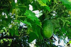 Winter melon. Green hatching is a plant that can eat both stems and balls royalty free stock photos