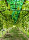 Winter melon Royalty Free Stock Image