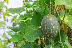 winter melon on its tree in garden Stock Photo