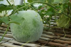 A green winter melon on the vine. The winter melon know as Ash gourd, also known as white gourd or wax gourd is an ash-colored, huge vegetable like the pumpkin royalty free stock images