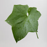 Winter Melon Leaf Stock Photos