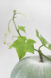 Winter Melon Leaf Stock Images