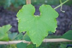 Winter melon leaf Royalty Free Stock Photo