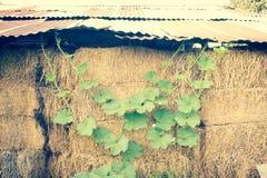 Winter Melon Leaf Stock Image