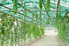 Winter melon and smooth loofah. In greenhouse cultivation Royalty Free Stock Image