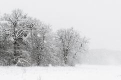 Winter minimalist landscape. Beautiful black and white Winter minimalist landscape with snowy trees Stock Photos