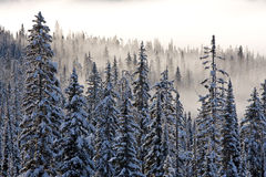Winter mist. Trees covered in snow in winter mist in british columbia Royalty Free Stock Photos