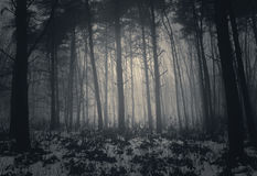 Winter misty forest with fog Royalty Free Stock Image