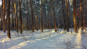 Winter mixed forest covered with snow illuminated stock video