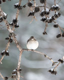 Winter Mockingbird. Mockingbird perched on a pine tree branch in Winter Royalty Free Stock Photos