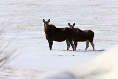 Winter Moose Stock Images