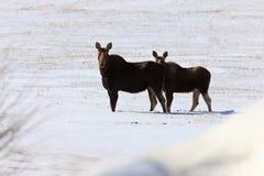 Winter Moose. Saskatchewan Canada winter snow Stock Images