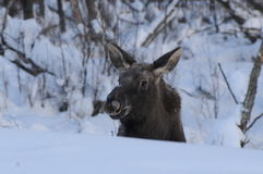 Winter Moose. A moose lifting his head from resting in the snow Stock Photography