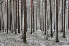 A snowfall in a pine forest. royalty free stock image