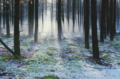 Winter morning in the forest. Stock Photos