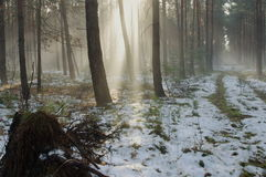 Winter morning in the forest. Stock Image