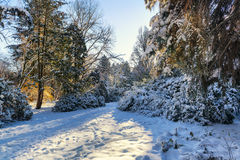 Winter morning landscape. Beautiful winter morning in a city park with spruce trees covered by snow Royalty Free Stock Image
