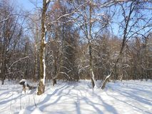 Winter morning in the old forest. stock photography