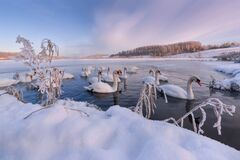 Free Winter Morning On Swan Lake In Vicinity Of Izborsk.Gorodishchenskoe Lake In Izborsk-Malsky Valley,Pskov Region.Flock Of Wintering  Stock Image - 187390701