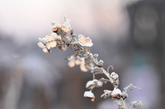 A winter morning photo of a twig with beautiful figure leaves covered with frost Stock Images