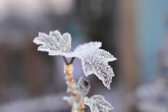 A winter morning photo of a twig with beautiful figure leaves covered with frost Royalty Free Stock Photo