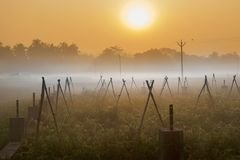 Winter morning scene - rural India. Winter morning - white fog over a green agriculture field with sun rising in the background. Rural Indian scene of sun rise Royalty Free Stock Image