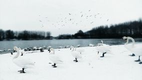 Winter morning in Serbia with Swans on the lake stock images