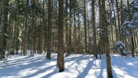 Winter morning in a spruce forest stock footage