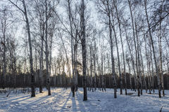 Winter morning woods Royalty Free Stock Image
