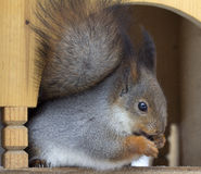 Squirrel in the house. The winter. In Moscow Park squirrel in the cozy house eating nuts and seeds Stock Photo