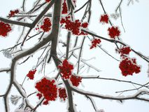 Winter mountain ash Royalty Free Stock Photo