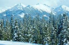 Winter mountain fir forest landscape Royalty Free Stock Image