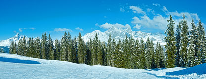 Winter mountain fir forest panorama Royalty Free Stock Image