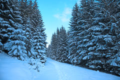 Winter mountain forest. Fir branches covered snow. Cold toning effect Royalty Free Stock Photo