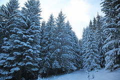 Winter mountain forest. Fir branches covered snow. Cold toning effect Royalty Free Stock Photos