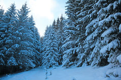 Winter mountain forest. Fir branches covered snow. Cold toning effect Royalty Free Stock Image