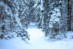 Winter mountain forest. Fir branches covered snow. Cold toning. Snowfall Royalty Free Stock Images