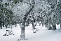 Winter forest with icy crooked trees Stock Image