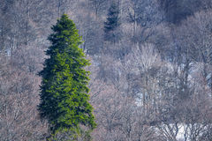 Winter mountain landscape with big fir tree Stock Photo