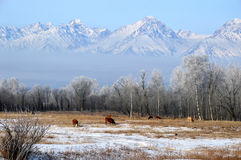 Winter mountain landscape. Cows grazing on a winter pasture. Royalty Free Stock Photo
