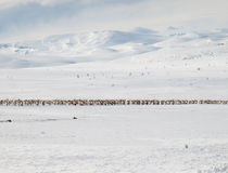 Winter mountain landscape with reindeer Royalty Free Stock Photo