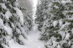 Winter mountain path among snow-covered trees Stock Image
