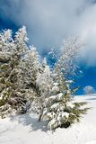 Winter mountain snowy landscape. Winter calm mountain landscape with beautiful frosting trees and snowdrifts on slope Carpathian Mountains, Ukraine Royalty Free Stock Images