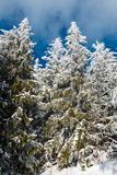 Winter mountain snowy landscape. Winter calm mountain landscape with beautiful frosting trees and snowdrifts on slope Carpathian Mountains, Ukraine Stock Images