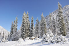 Winter with mountains and firtrees in snow Royalty Free Stock Images