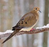 Winter Mourning Dove (Zenaida macroura) Stock Photos