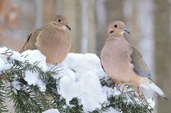 Winter Mourning Doves. A pair of Mourning Doves on a snowy spruce branch stock image