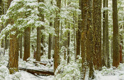 Winter in Mt Rainier National Park Royalty Free Stock Images